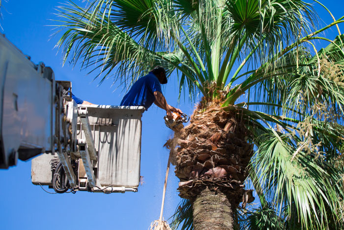 Trimming a Queen Palm tree in a bucket truck